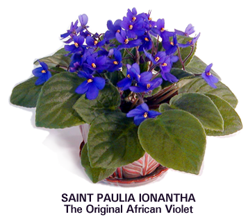 The Original African Violet Breed