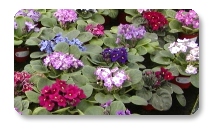 Optimara Violet Varieties